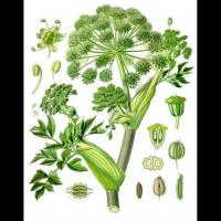 Chromolithographie d'angelica archangelica dans l'ouvrage
