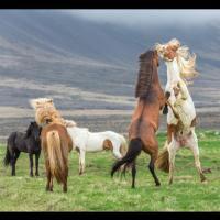 Combat de chevaux islandais