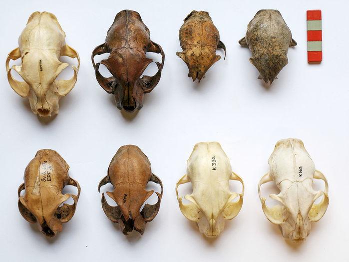 Danemark - La taille des crânes des chats domestiques a augmenté à partir de l'Âge Viking - Photo: Anne-Birgitte Gitfredsen