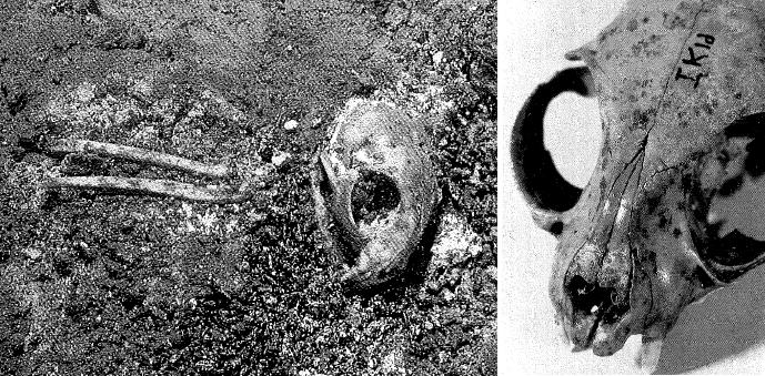 Marques d'entailles sur le crâne et les pattes antérieures d'un jeune chat - Photo: Ingrid Sørensen