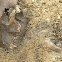 Danemark - Squelette du chien enterré avec son maître dans une sépulture viking à Odense - Photo: Kasper Marquardtsen / TV2fyn