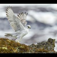 Le faucon gerfaut - Photo: Daniel Bergmann