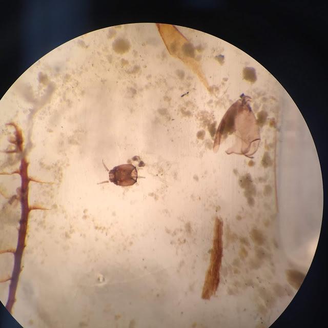 Groenland - Un des exosquelettes (au centre) de chironomidés, vu au microscope - Photo:  G. Everett Lasher / Northwestern University