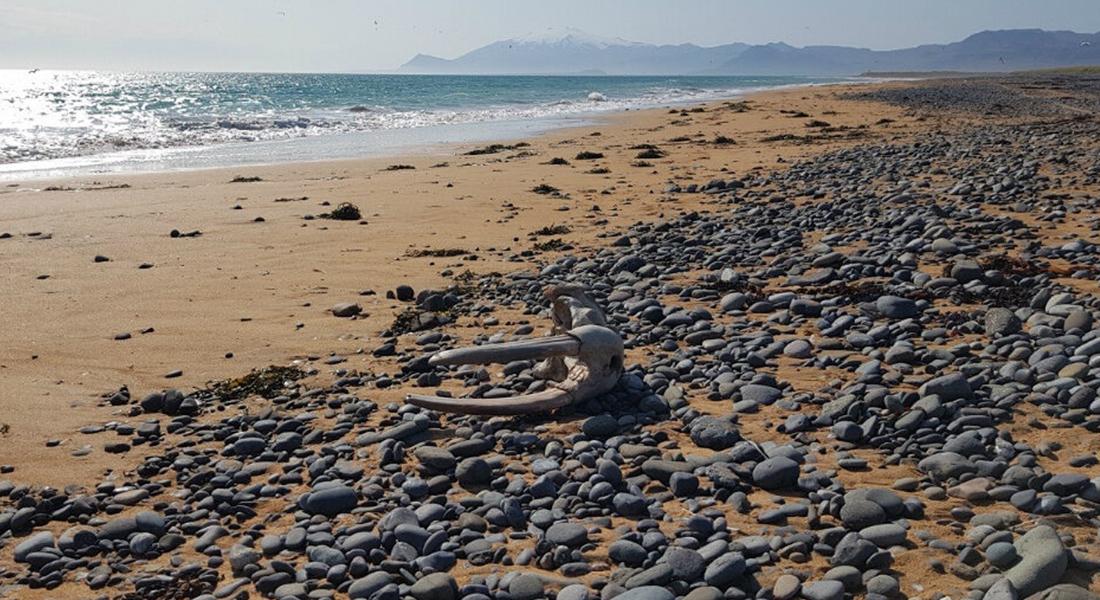 Islande - Crâne de morse déposé par l'océan sur le littoral de la côte sud de Snæfellsnes - Photo: Hilmar J. Malmquist