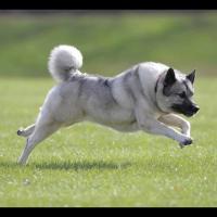 L'Elkhoundnorvégien, ou norskElghund