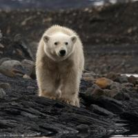 L'ours polaire, ou Ursus-maritimus - Photo: Two in the blue
