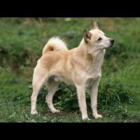 Le Buhund norvégien, la plus ancienne race de chien de berger nordique connue