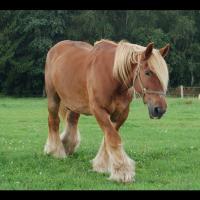 LeJutland, ouDen jyske hest