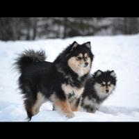 Le Lapphund ou chien suédois de Laponie, de type spitz, est l'une des plus vieilles races de chiens, élevée par les Samis pour garder les troupeaux de rennes