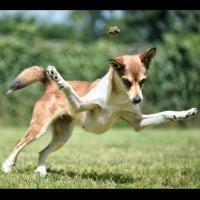 Le lundehund en action