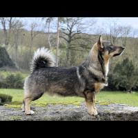 Le Vallhund suédois, chien de berger des troupeaux de bétail - Photo: Jane