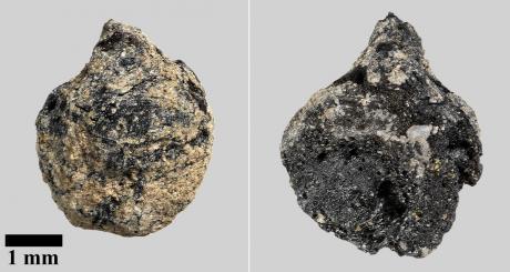Les pépins de raisins carbonisés découverts à Tissø, Danemark - Photo John Lee, Nationalmuseet