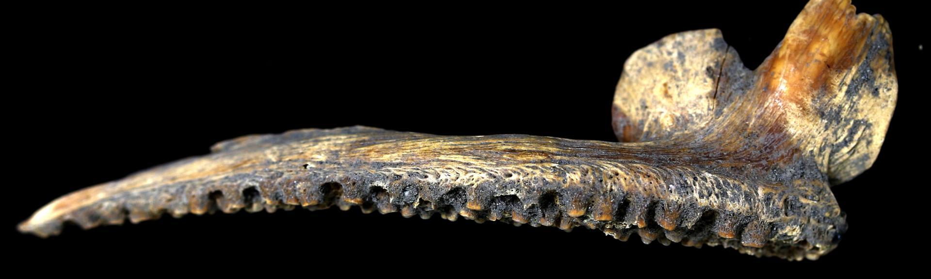 Une mâchoire de morue découverte à Haithabu - photo: Bastiaan Star