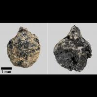 Pépins de raisin datant de l'Âge Viking découverts sur le site de Tissø - Photo: John Lee / Musée national du Danemark