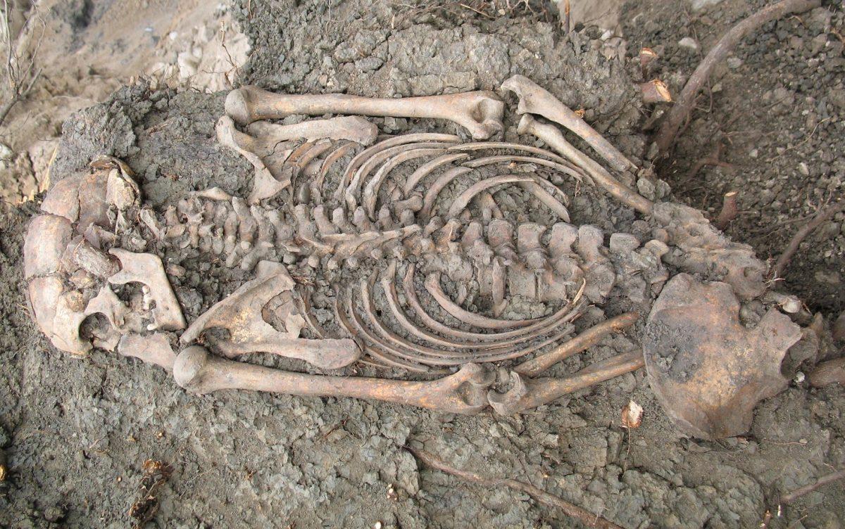 Suède - Squelette d'un homme adulte du XIème siècle découvert à Sigtuna en 2018, entre les racines d'un arbre - Photo: Musée Sigtuna